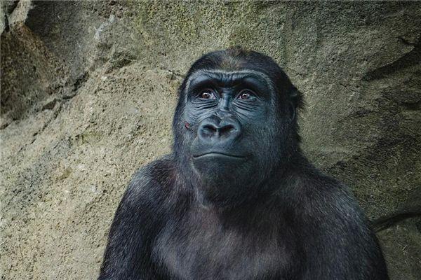 梦见黑猩猩