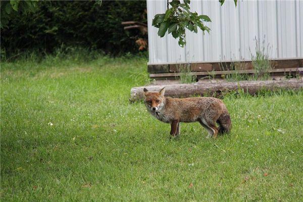 梦见狐狸咬人