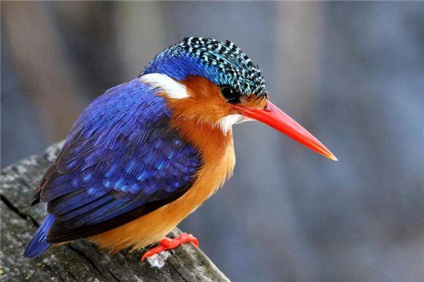 梦见漂亮的鸟