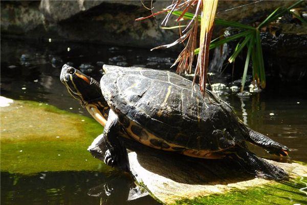 梦见打死乌龟