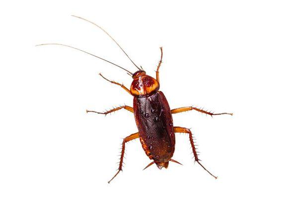 孕妇梦见蟑螂