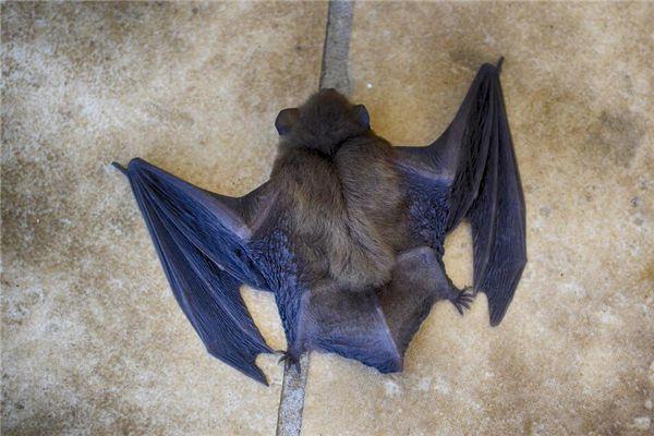 梦见一群蝙蝠