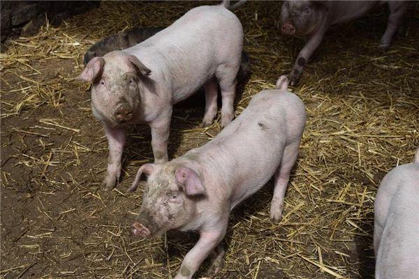 梦见猪打架