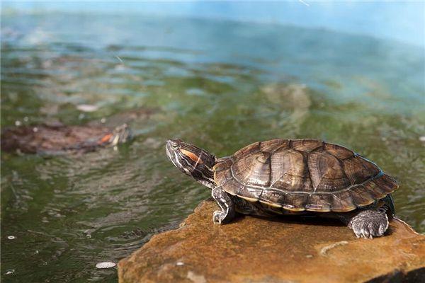 梦见抓住乌龟