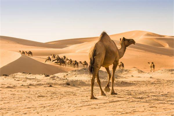 梦见骆驼向沙漠进发