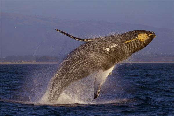梦见庞大体积的鲸鱼