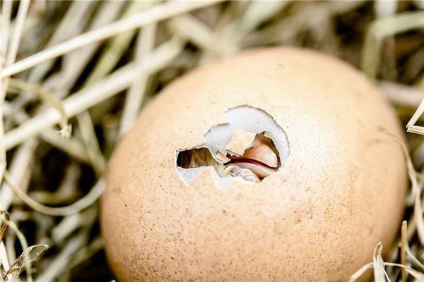 梦见小鸡破壳而出