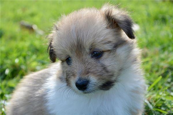 梦见刚出生的小狗