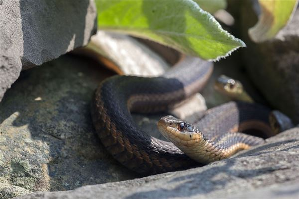 梦见大蛇生小蛇