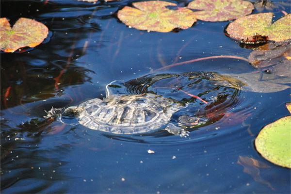 梦见被乌龟追着咬