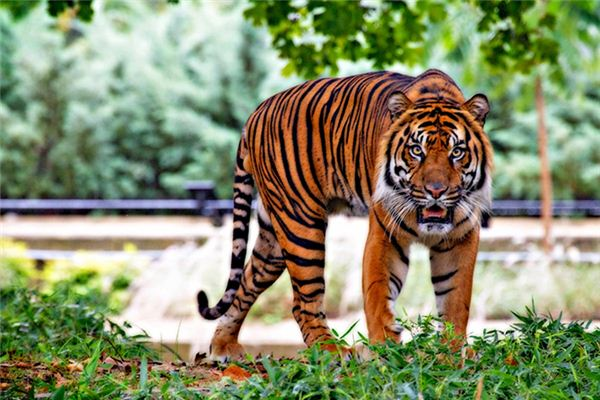 梦见老虎是什么意思