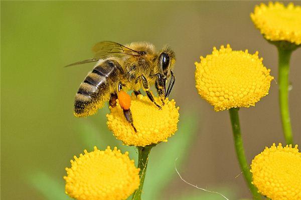 梦见蜜蜂是什么意思