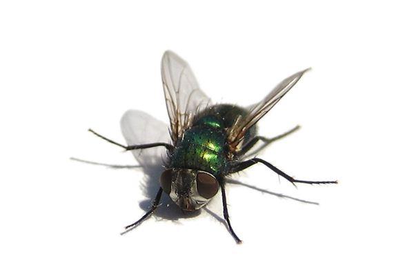 梦见苍蝇是什么意思