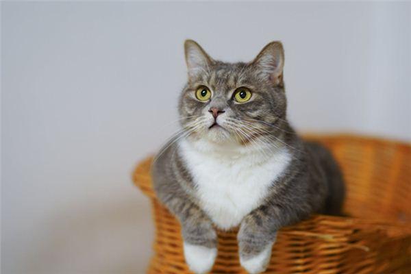 梦见猫是什么意思