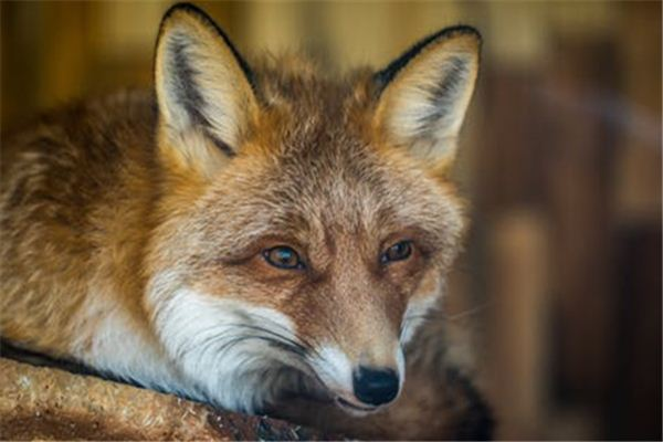 梦到狐狸是什么意思
