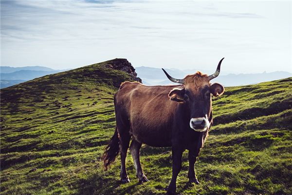 已婚女人梦见牛