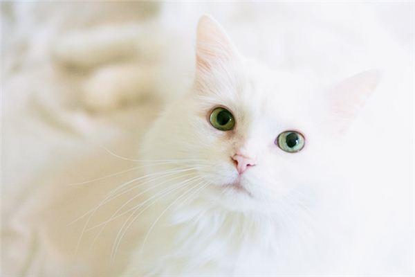 梦见白猫是什么预兆