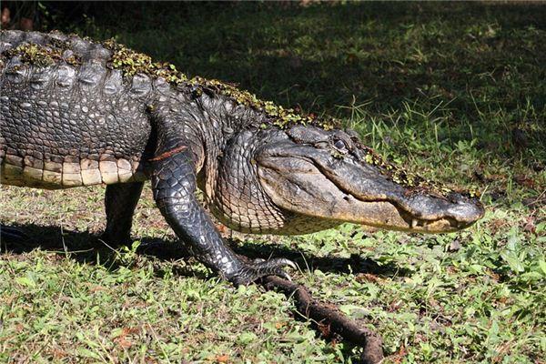 梦见大鳄鱼是什么意思