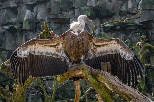 梦见秃鹫是什么意思