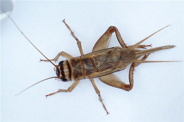 梦见蟋蟀是什么意思