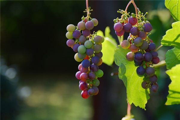 夢見葡萄是什么意思