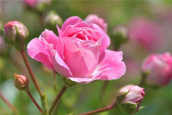 梦见蔷薇是什么意思
