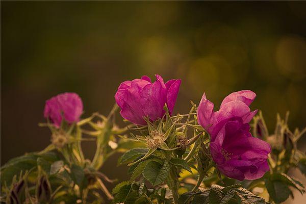 梦见野蔷薇是什么意思