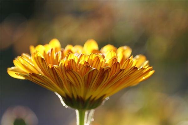 梦见金盏菊是什么意思