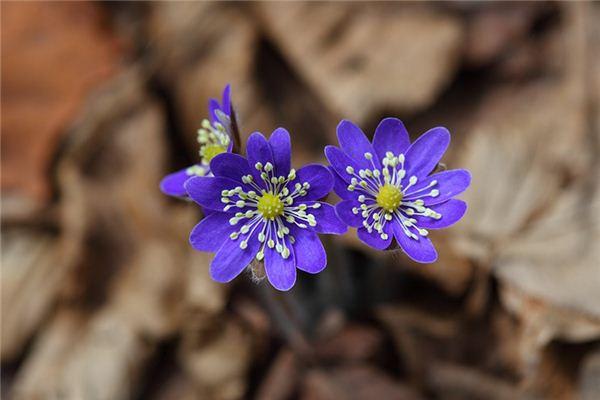 夢見野花是什么意思