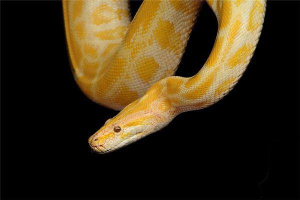 梦见金色蟒蛇是什么意思