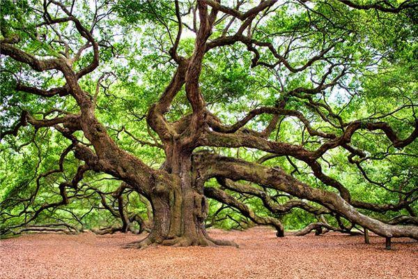 梦见橡树是什么意思