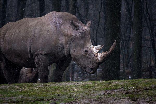 梦见犀牛是什么意思