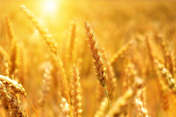 夢見小麥是什么意思