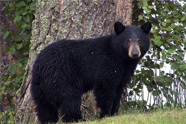 梦见狗熊是什么意思