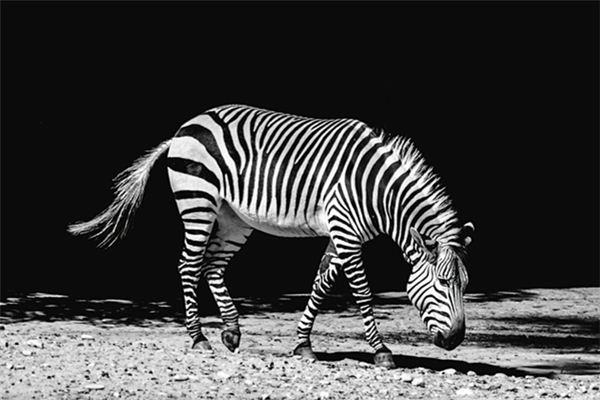 梦见斑马是什么意思