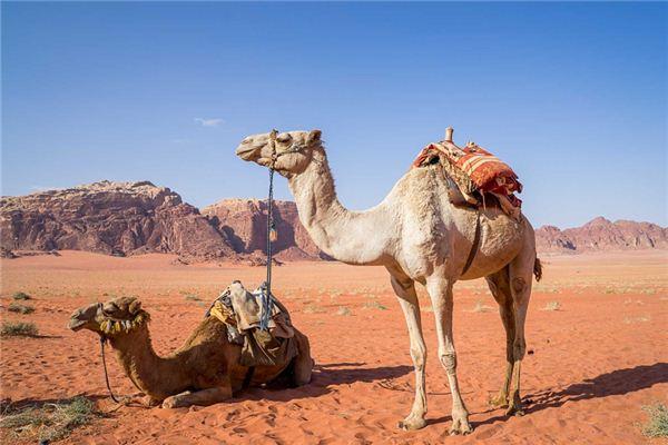 梦见骆驼是什么意思
