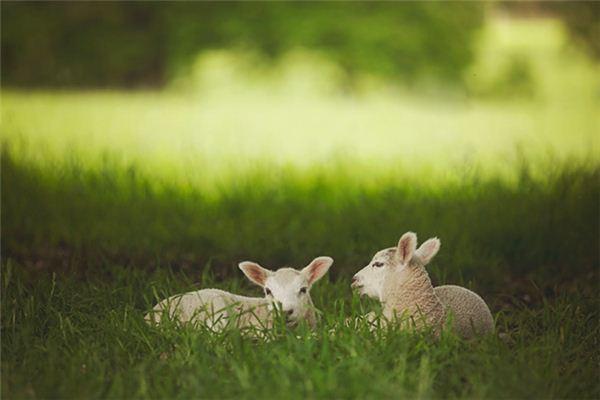 梦见山羊羔是什么意思
