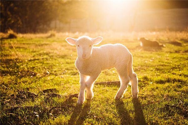梦见绵羊羔是什么意思