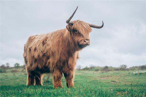 梦见牦牛是什么意思