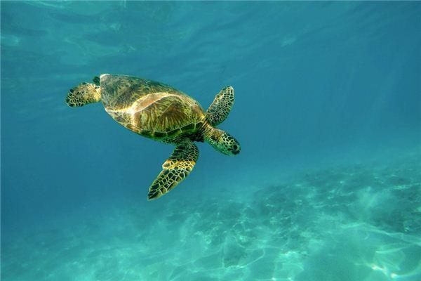 梦见海龟是什么意思