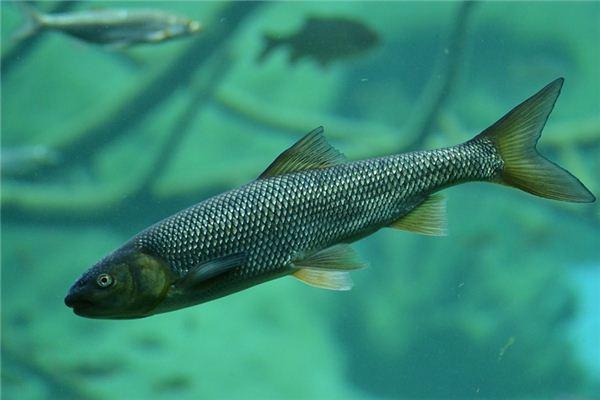 梦见鳟鱼是什么意思