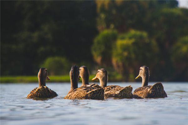 梦见鸭子是什么意思