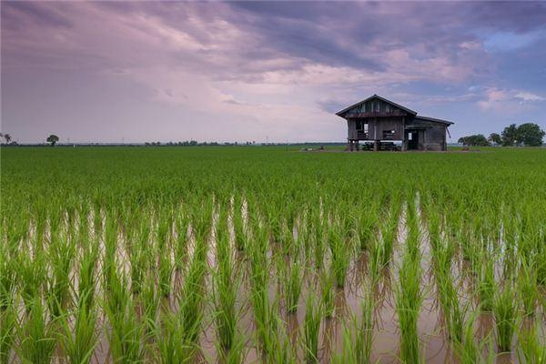 梦见稻田是什么意思