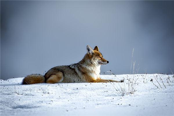 孕妇梦见狼是什么意思
