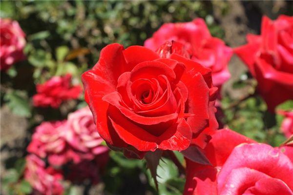 梦见红花是什么意思