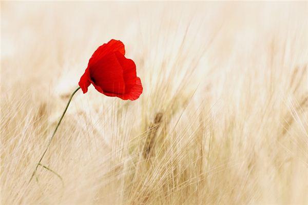 梦见罂粟花是什么意思