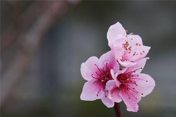 梦见桃花是什么意思