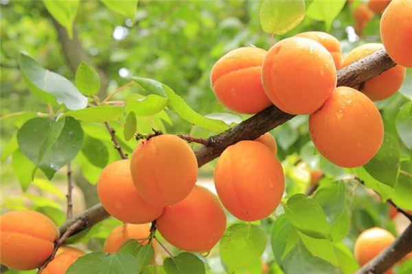梦见杏树是什么意思