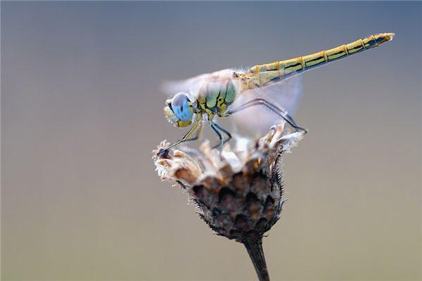 梦见蜻蜓是什么意思