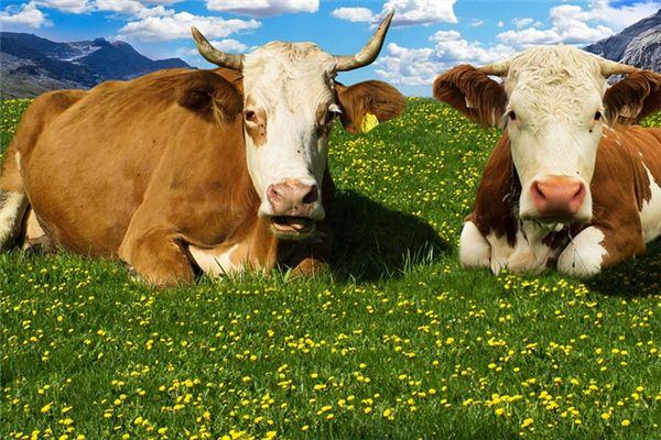梦见奶牛是什么意思